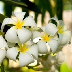 Parfum Fleur de Tiaré