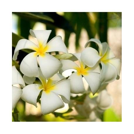 Parfum Fleur de Tiaré - DROMESSENCE