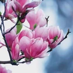 Parfum Magnolia