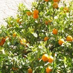 Parfum Mandarine