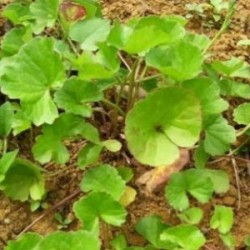 Huile végétale Centella Asiatica (macérât huileux) BIO