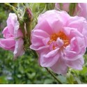Hydrolat Rose de damas BIO
