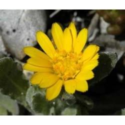Huile végétale calendula (macérat huileux)
