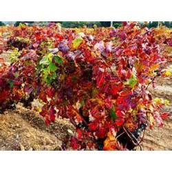 Hydrolat vigne rouge