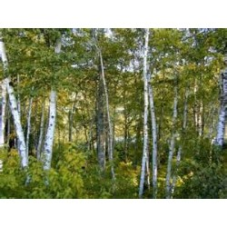 Macérât bio de bourgeons : Bouleau