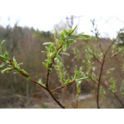 Macérât bio de bourgeons : Saule blanc