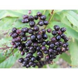Macérât bio de bourgeons : Sureau
