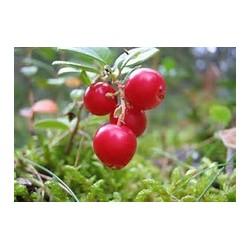 Macérât bio de bourgeons : Airelle