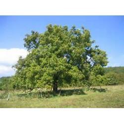 Macérât bio de bourgeons : Noyer