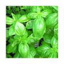 Huile essentielle basilic grand vert