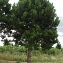 Huile essentielle pin noir BIO