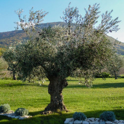 Macérât bio de bourgeons : Olivier