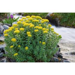 EPF BIO (Extrait de plantes seches) Rhodiole