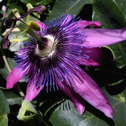 EPF BIO de  Passiflore  (Extrait de plantes fraiches) DROMESSENCE
