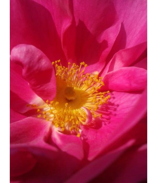 Huile essentielle de rose...