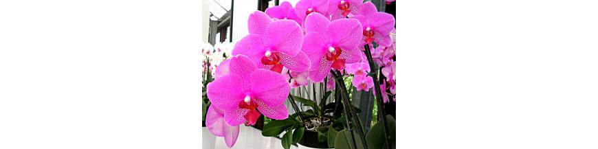 L'elixir d orchidées BIO DROMESSENCE